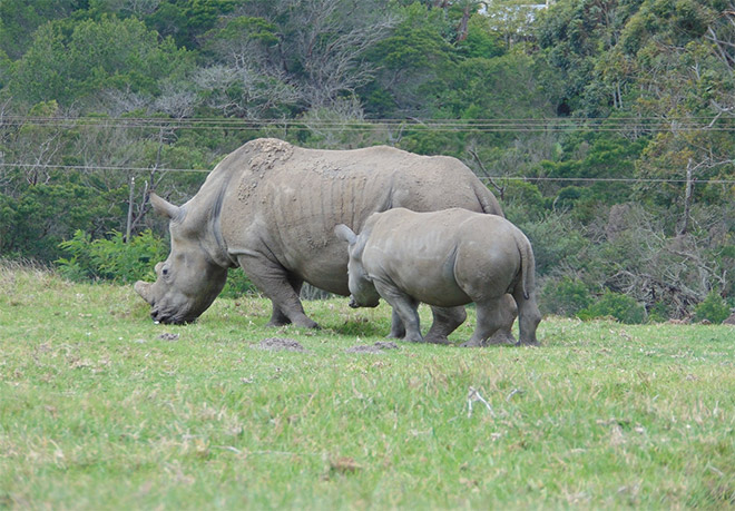 Rhinos in the safe sanctuary